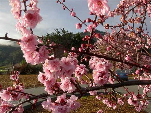 cherryblossoms2.jpg