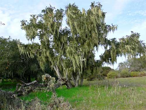 mossytree.jpg