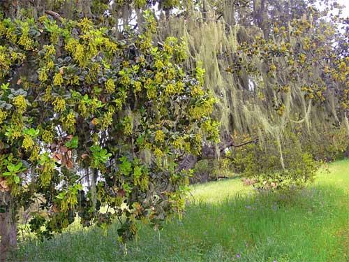 oakbloom2.jpg