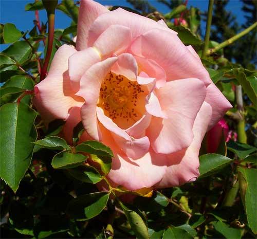 pinkrose2.jpg